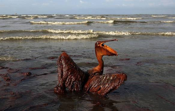 Pelican polluted by BP-Halliburton oil